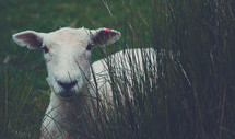 a lamb in tall grass