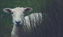 a lamb in tall grass