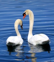 Two Graceful swans gliding together on the water and bathing in a tranquil peaceful blue waters of a pond.