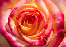 red and peach rose center