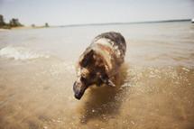 Dog standing on ocean.
