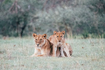 mother lion with her cub