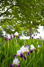 Iris flowers under a tree in a field