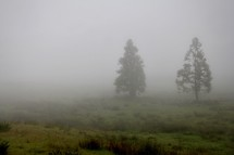 trees in fog on a hillside