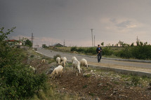 Man herding sheep across a street near a village.