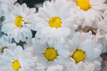 white daisies closeup