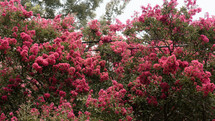 pink crape myrtle flowers growing over power lines
