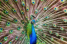 male peacock feathers