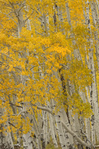 yellow fall forest