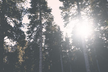 sunburst in a pine forest