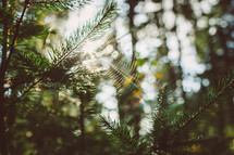 spider web hanging on pine trees