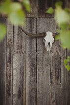 Skull from a bull hanging on a wood wall