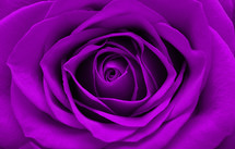 purple rose closeup