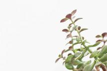 Succulent plant.