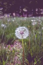 dandelion fluff in a field