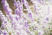 sunlight shining on purple flowers