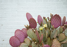 prickly pear cactus and white wall background