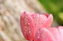 tulip covered with rain drops