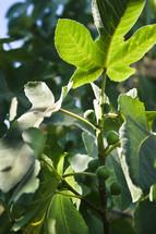 green fig leaves