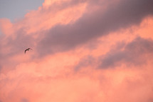 soaring seagull at sunset