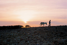 A shepherd leading his sheep at sunset