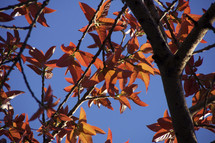 Orange and yellow leaves and blue sky