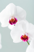 white and fuchsia orchid flower