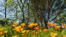 orange wildflowers in spring