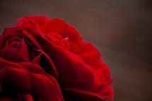 red roses macro