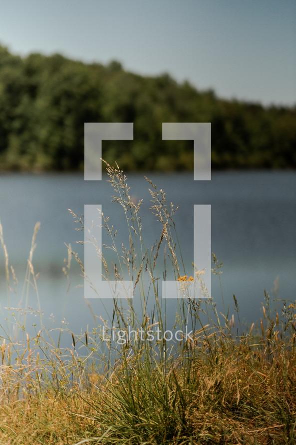 tall grasses along a lake's edge