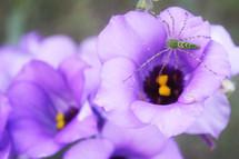 spider on a purple flower