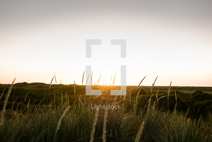 sun setting over a field of tall grasses