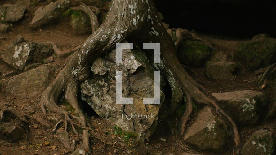 tree roots on rocks
