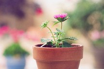 potted gerber daisy