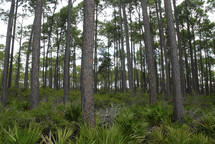 Florida forest trees