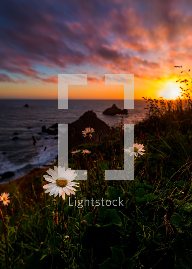 daisies at sunset on Scotty Point