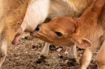 baby cow nursing