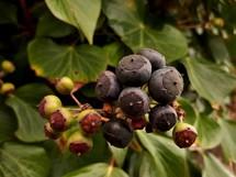 Big Black and Green Ivy Berries