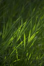 Green grass lit by sunlight.