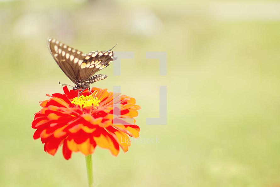 Butterfly on orange flower