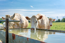 cows drinking from a water trough
