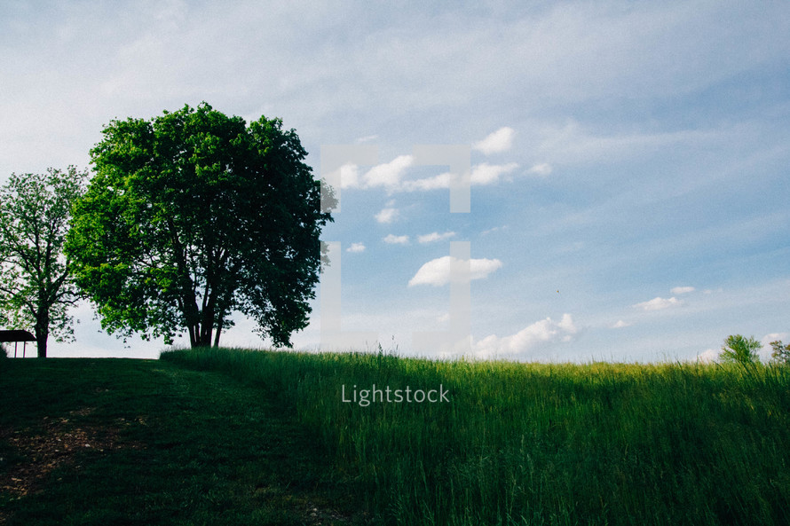 tall green grass and a tree