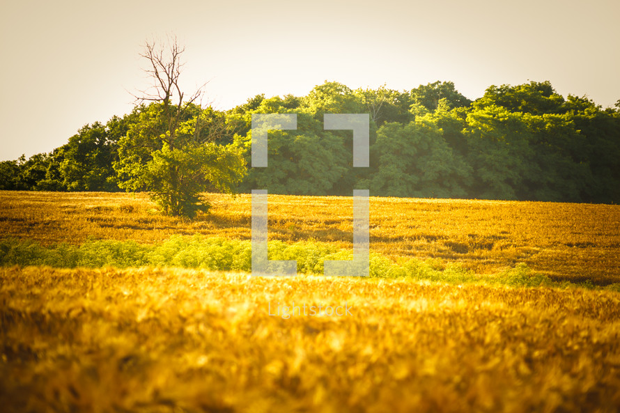 bare tree in a field of wheat