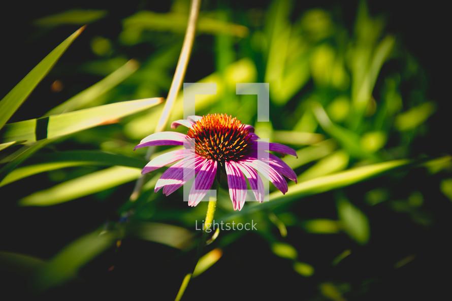 purple flower in warm sunlight