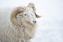 a ram in snow