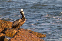 pelican on a rock