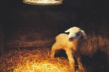 a lamb under a heat lamp