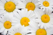 closeup of white daisies background