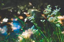 white wildflowers in a field