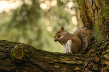 Squirrel Holding A Walnut In The Middle Of The Forest